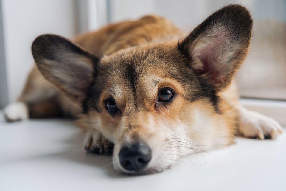 dog-vibe-saude-emocional-do-seu-cao